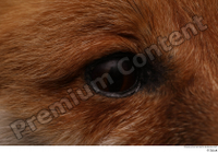 Red fox eye 0002.jpg