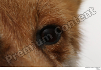 Red fox eye 0003.jpg