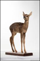 Deer doe (Capreolus capreolus)
