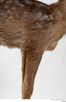 Deer doe chest leg 0001.jpg