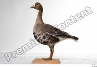 Greater white-fronted goose Anser albifrons whole body 0001.jpg