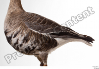 Greater white-fronted goose Anser albifrons body chest wing 0002.jpg