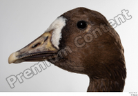 Greater white-fronted goose Anser albifrons head 0001.jpg
