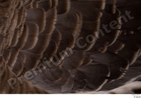 Greater white-fronted goose Anser albifrons back feathers wing 0001.jpg