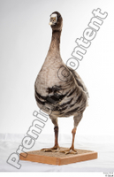 Greater white-fronted goose Anser albifrons whole body 0002.jpg
