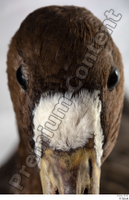 Greater white-fronted goose Anser albifrons beak head 0004.jpg