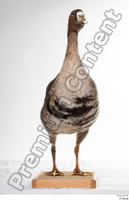 Greater white-fronted goose Anser albifrons whole body 0003.jpg