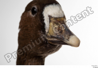 Greater white-fronted goose Anser albifrons beak head 0005.jpg