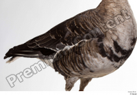 Greater white-fronted goose Anser albifrons body chest wing 0003.jpg