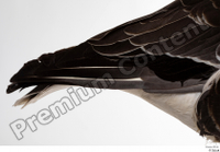 Greater white-fronted goose Anser albifrons tail 0001.jpg