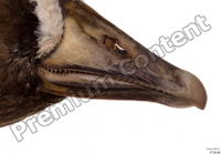Greater white-fronted goose Anser albifrons beak head 0006.jpg