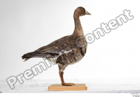Greater white-fronted goose Anser albifrons whole body 0005.jpg