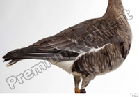 Greater white-fronted goose Anser albifrons back body chest wing 0001.jpg