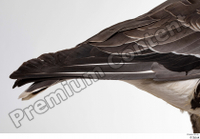 Greater white-fronted goose Anser albifrons tail 0002.jpg