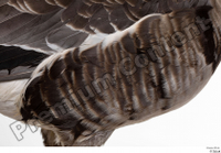 Greater white-fronted goose Anser albifrons chest wing 0001.jpg