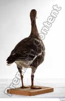 Greater white-fronted goose Anser albifrons whole body 0006.jpg