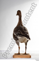Greater white-fronted goose Anser albifrons whole body 0007.jpg