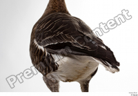 Greater white-fronted goose Anser albifrons back tail 0002.jpg