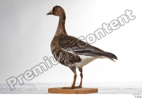 Greater white-fronted goose Anser albifrons whole body 0008.jpg