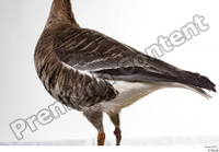 Greater white-fronted goose Anser albifrons back body tail 0001.jpg