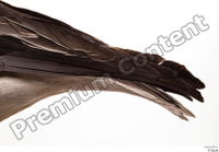 Greater white-fronted goose Anser albifrons tail 0004.jpg