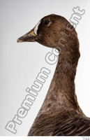 Greater white-fronted goose Anser albifrons head neck 0009.jpg