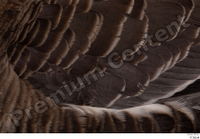 Greater white-fronted goose Anser albifrons back feathers wing 0003.jpg