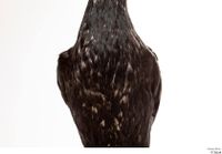 Double-crested cormorant Phalacrocorax auritus chest 0002.jpg