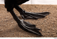 Double-crested cormorant Phalacrocorax auritus foot 0005.jpg