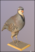Rock partridge (Alectoris graeca)