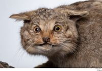 Wildcat Felis silvestris head 0001.jpg