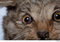 Wildcat Felis silvestris eye 0002.jpg