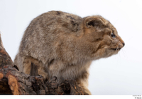 Wildcat Felis silvestris body head 0001.jpg