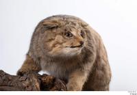 Wildcat Felis silvestris head tail whole body 0001.jpg