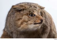 Wildcat Felis silvestris head 0005.jpg