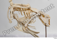 Chicken skeleton chicken skeleton 0002.jpg