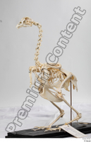 Chicken skeleton chicken skeleton 0008.jpg