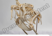 Chicken skeleton chicken skeleton 0009.jpg