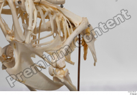 Chicken skeleton chicken skeleton 0021.jpg