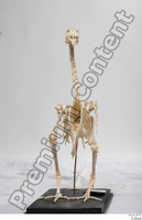 Chicken skeleton chicken skeleton 0022.jpg