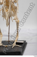 Chicken skeleton chicken skeleton 0025.jpg