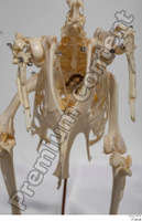 Chicken skeleton chicken skeleton 0026.jpg