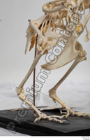 Chicken skeleton chicken skeleton 0035.jpg