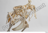 Chicken skeleton chicken skeleton 0037.jpg