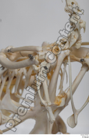Chicken skeleton chicken skeleton 0042.jpg