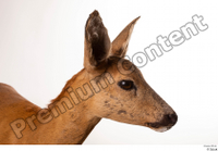Deer Doe 2 head 0002.jpg
