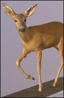 3D Scan of Doe (Caprelous Caprelous)