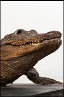 Crocodile # 2