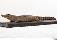 Crocodile  2 whole body 0003.jpg