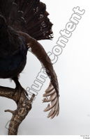 Western capercaillie back wings 0003.jpg